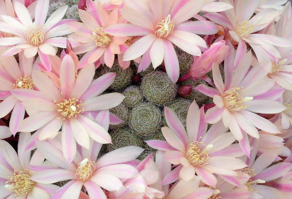 Cactaceae Photograph - Cactus Aylostera Heliosa X Albiflora by Nigel Downer/science Photo Library