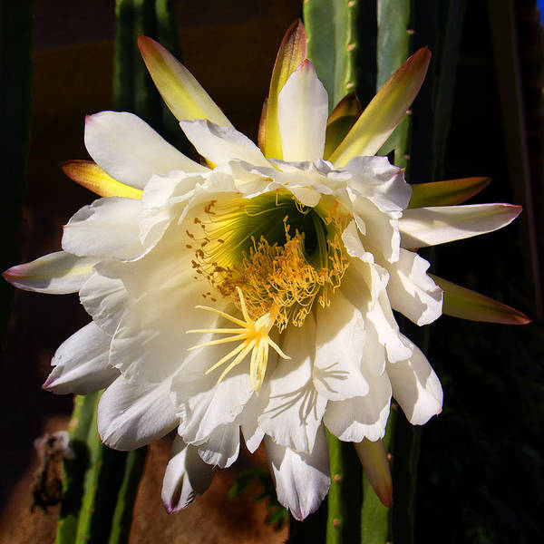 Photograph - Cactus Bloom by Dominic Piperata