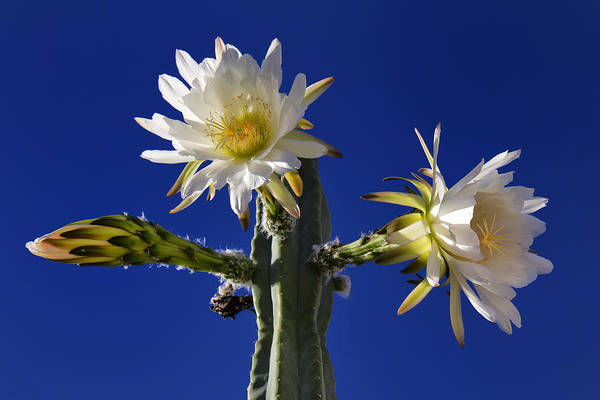 Photograph - Cactus Blooms by Dominic Piperata