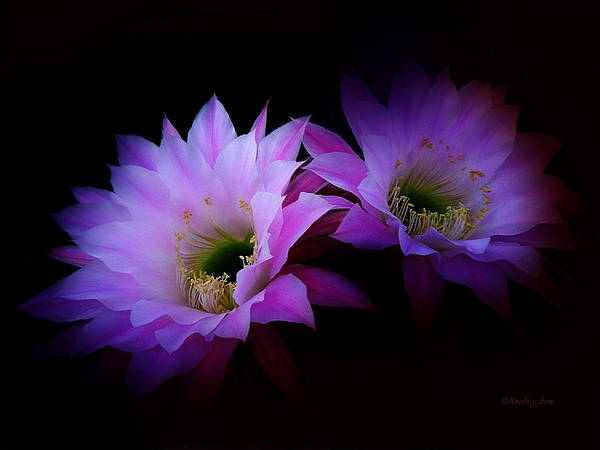 Photograph - Cactus Blossom 7 by Xueling Zou