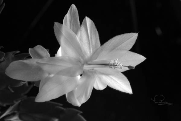Photograph - Cactus Blossom by Ludwig Keck