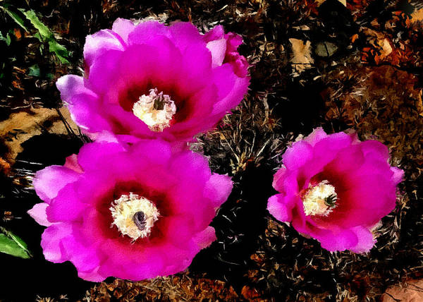 Photograph - Cactus Blossoms In Southwest National Parks by Bob and Nadine Johnston