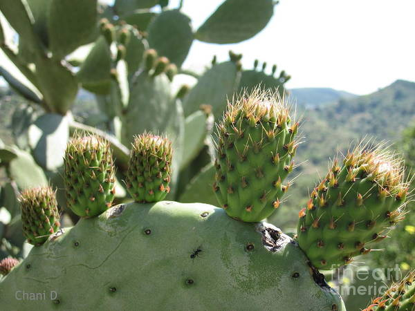 Photograph - Cactus by Chani Demuijlder