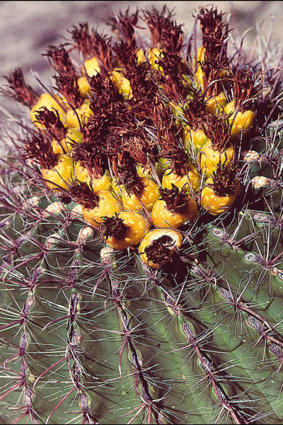 Photograph - Cactus by Christopher Meade
