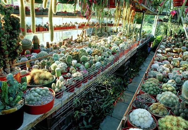 Cactaceae Photograph - Cactus Collection In A Greenhouse by Steve Taylor/science Photo Library