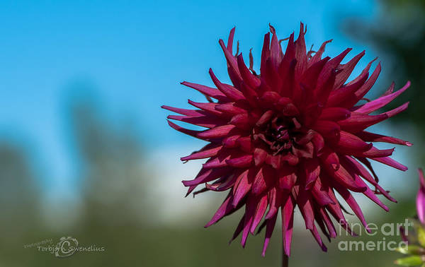 Photograph - Cactus Dahlia by Torbjorn Swenelius