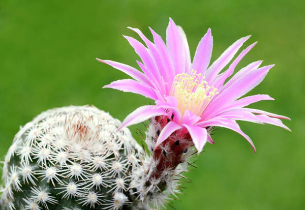 Cactaceae Photograph - Cactus Echinocactus Reichenbachii by Nigel Downer/science Photo Library