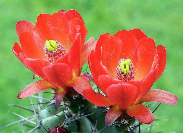 Cactaceae Photograph - Cactus Echinocereus Coccineus Var Neomexicanus by Nigel Downer/science Photo Library