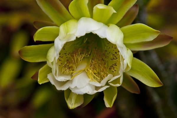 Cactus Flower Photograph - Cactus Flower 1 by Sharon Cummings