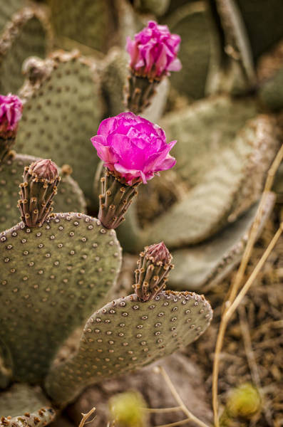Photograph - Cactus Flowers by Heather Applegate