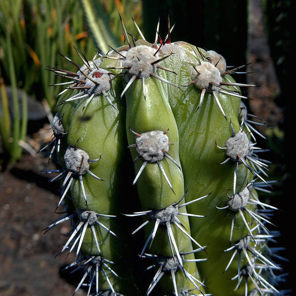 Photograph - Cactus In Hawaii by Pamela Walton