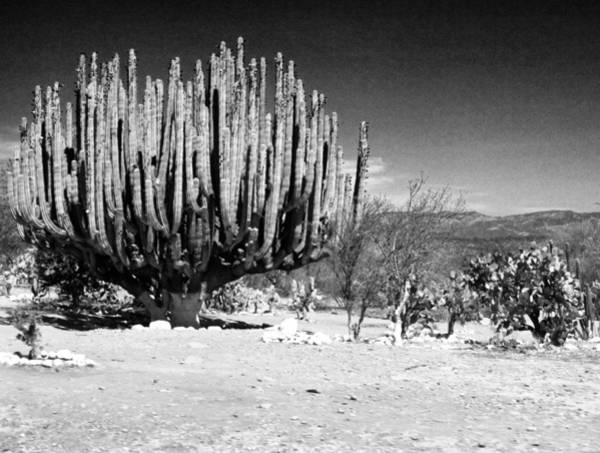 Photograph - Cactus In Mexico by Lee Santa