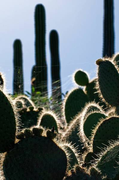 Spiderweb Photograph - Cactus Plants by Dr. John Brackenbury/science Photo Library