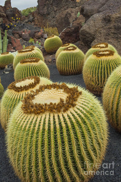 Cesar Wall Art - Photograph - Cactus Plants On Lanzarote by Patricia Hofmeester