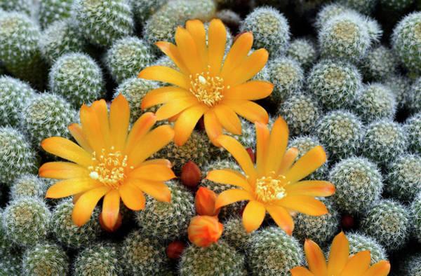 Cactaceae Photograph - Cactus Rebutia Fabrisii Var Aureiflora by Nigel Downer/science Photo Library