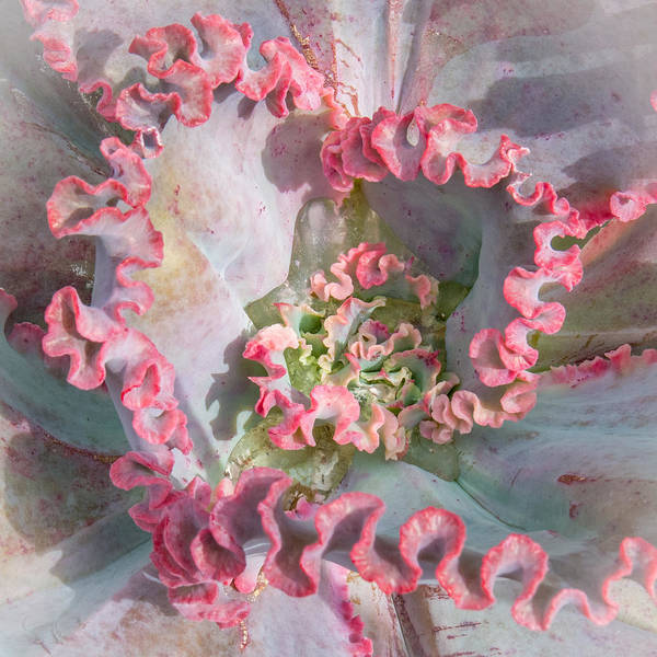 Photograph - Cactus Rosette by Patti Deters