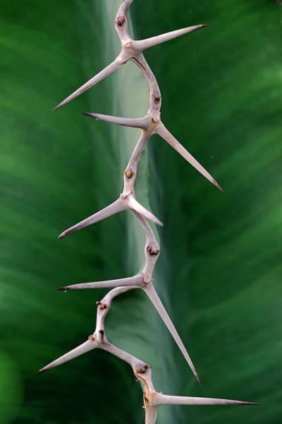 Modified Photograph - Cactus Spines by Bildagentur-online/mcphoto-schulz