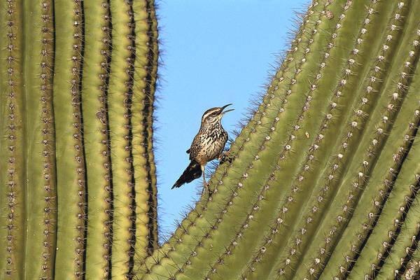 Cactus Wren Wall Art - Photograph - Cactus Wren On Saguaro Arizona by Tom Vezo