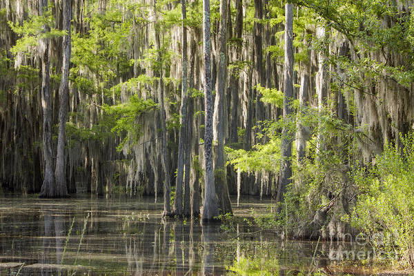 Photograph - Caddo Swamp 2 by David Cutts