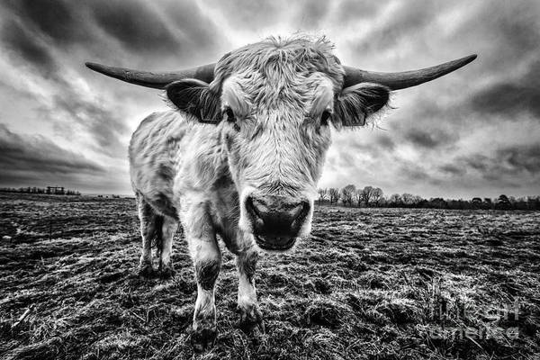 Steer Photograph - Cadzow White Cow Female by John Farnan