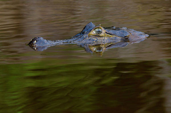 Stoney Photograph - Caiman Are Alligators With A Narrow by Jan and Stoney Edwards