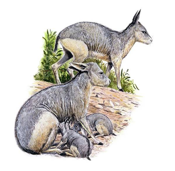 Ungulate Wall Art - Photograph - Cainotherium by Michael Long/science Photo Library