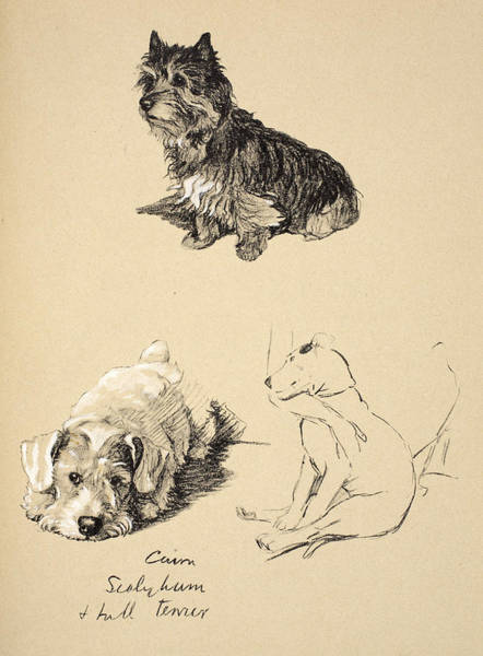 Pet Portrait Drawing - Cairn, Sealyham And Bull Terrier, 1930 by Cecil Charles Windsor Aldin