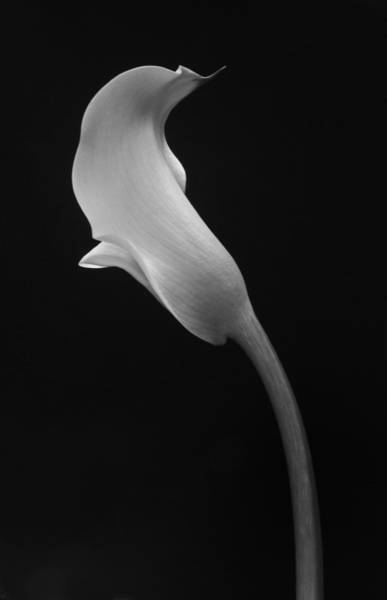 Cala Lilly 1 Art Print