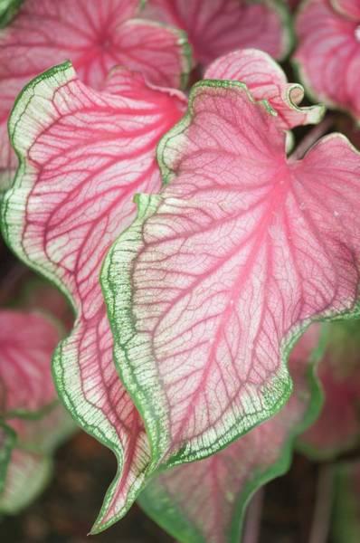 Florida Flora Photograph - Caladium 'florida Sweetheart' by Maria Mosolova/science Photo Library