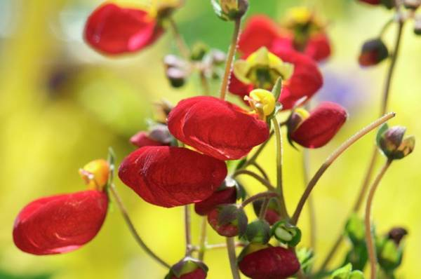 Bicolour Photograph - Calceolaria 'sunset' by Sam K Tran/science Photo Library