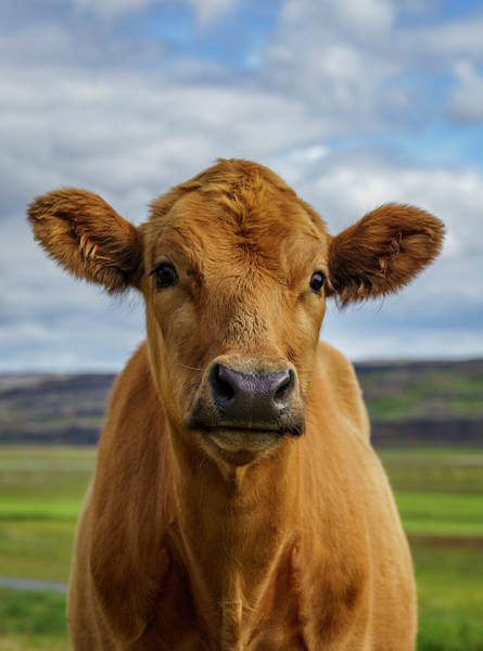 Free Range Photograph - Calf Looking At The Camera, Iceland by Arctic-images