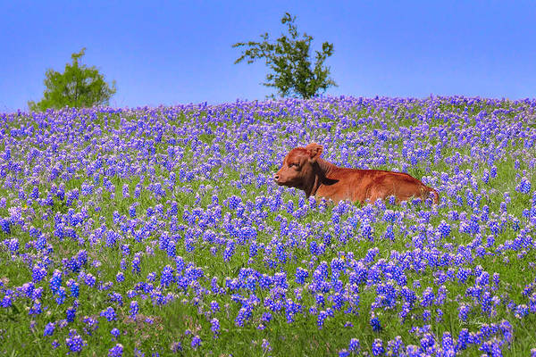Wall Art - Photograph - Calf Nestled In Bluebonnets - Texas Wildflowers Landscape Cow by Jon Holiday