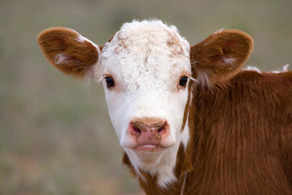 Cow And Calf Wall Art - Photograph - Calf Portrait by Panoramic Images