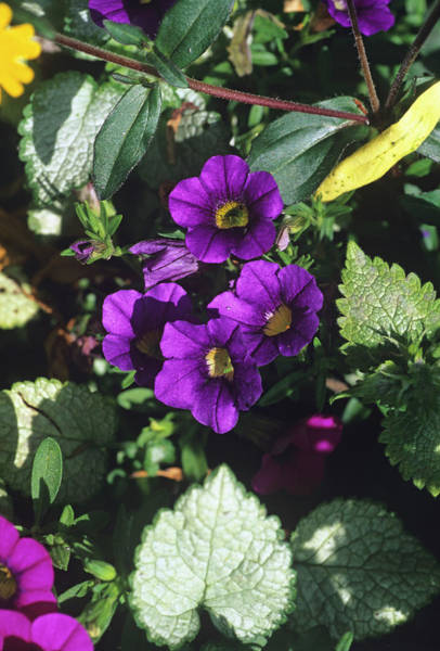 Petunias Photograph - Calibrachoa 'celebration Blue' Flowers by Adrian Thomas/science Photo Library