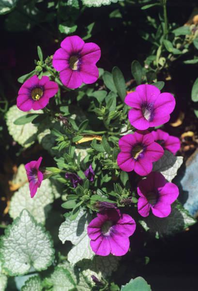 Petunia Photograph - Calibrachoa 'celebration Red' Flowers by Adrian Thomas/science Photo Library