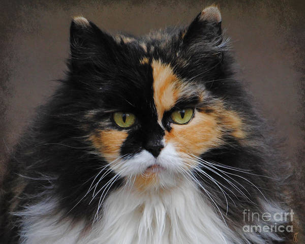Long Hair Cat Photograph - Calico Cat by Jai Johnson