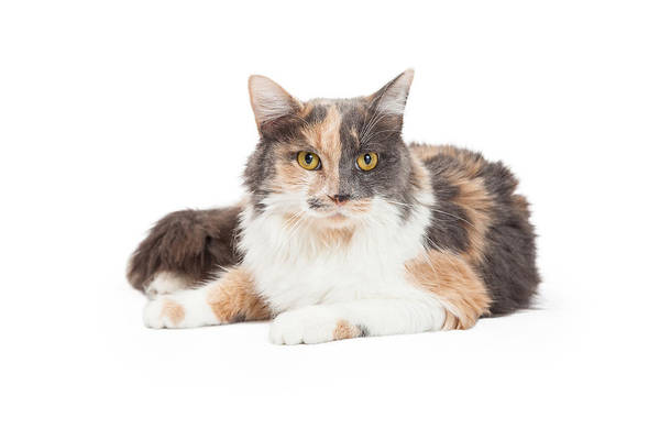 Crossbreed Wall Art - Photograph - Calico Domestic Longhair Cat Laying by Susan Schmitz