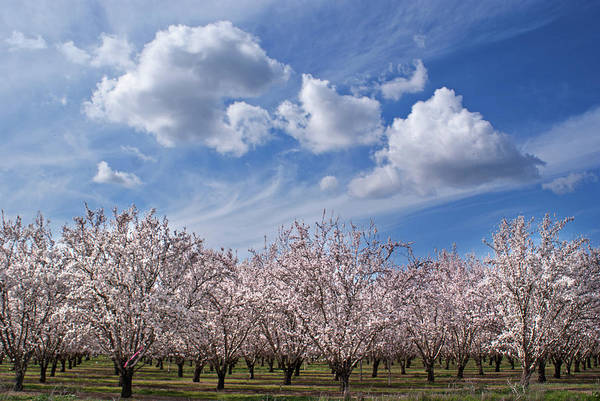 Photograph - California Almond Blossoms In Bloom by Barbara Rich