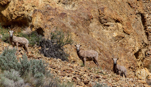 Goat Rocks Wilderness Wall Art - Photograph - California Bighorn Sheep by Robert Bales