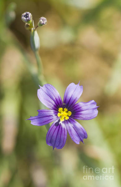 Photograph - California Blue-eyed Grass by Dan Suzio