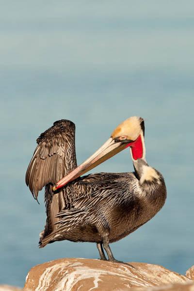 Gular Photograph - California Brown Pelican by Craig K. Lorenz