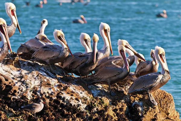 California Brown Pelican Photograph - California Brown Pelicans, Pelecanus by Russ Bishop