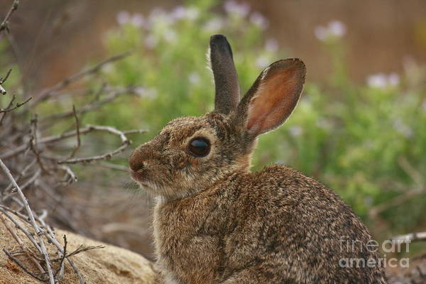 Photograph - California Bunny by John F Tsumas