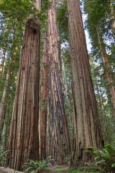 Photograph - California Coastal Redwood Forest by Loree Johnson