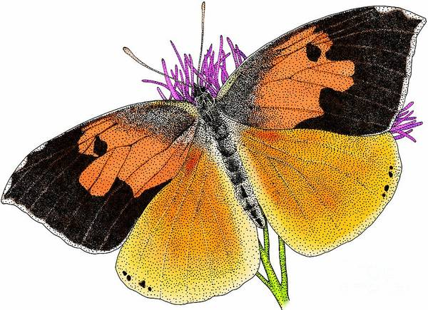 Photograph - California Dog Face Butterfly by Roger Hall