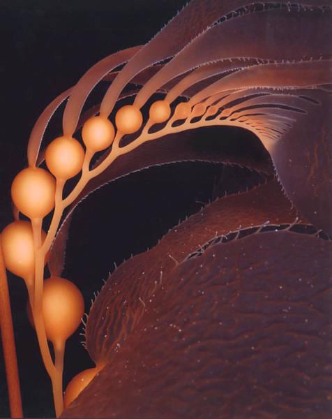 Kelp Photograph - California Giant Brown Kelp By Derek Tarr by California Coastal Commission