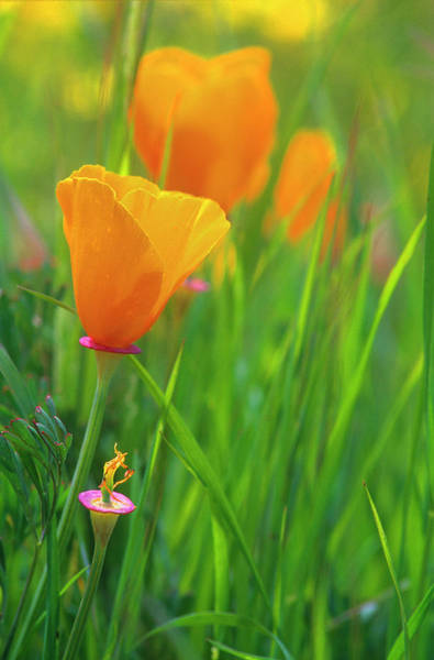 Rebirth Photograph - California Golden Poppies In A Green by John Alves