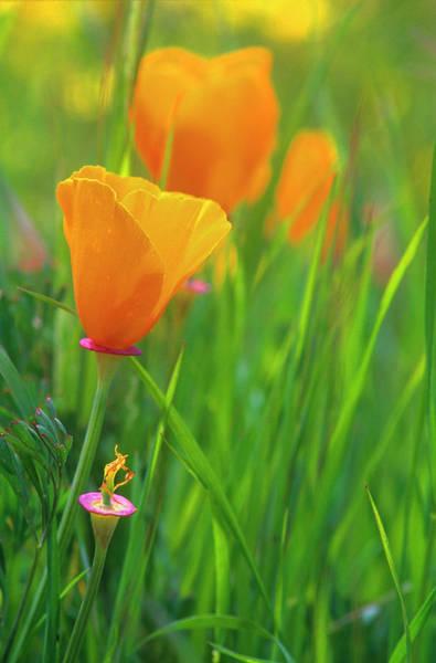 Annual Photograph - California Golden Poppies In A Green by John Alves