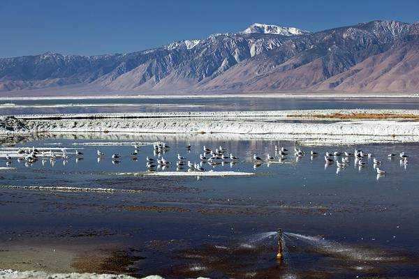 Alkali Wall Art - Photograph - California Gulls On Owens Lake by Jim West