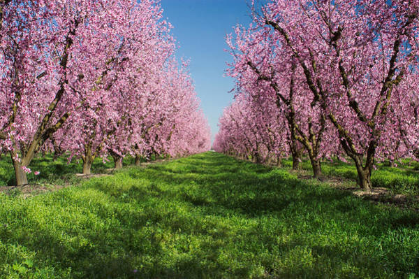 Idyll Photograph - California Peach Tree Orchard  by Anonymous